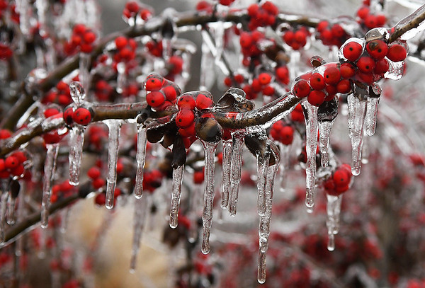Icicles hang from berries at Dillingham Garden Sunday January 15, 2017. (Billy Hefton / Enid News & Eagle)