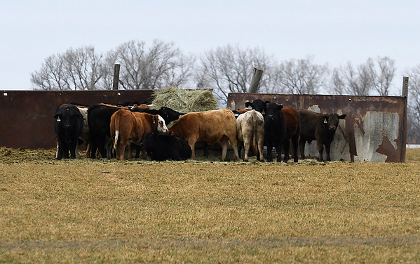 Cattle stand behind a wind break in a field along east Carrier Road Thursday January 5, 2017. As of 3 p.m. the Oklahoma Mesonet site at Breckinridge had recorded a high temperature of 26 degrees and a maximum wind gust of 28 mph. (Billy Hefton / Enid News & Eagle)