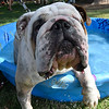 T-bone, an English bulldog, climbs out of a wading pool during the Downtown Dogfest on the Garfield County Courthouse lawn Saturday June 17, 2017. (Billy Hefton / Enid News & Eagle)