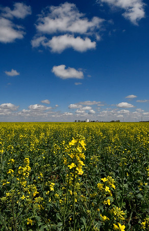 A canola field blooms near Carrier Monday April 3, 2017. (Billy Hefton / Enid News & Eagle)
