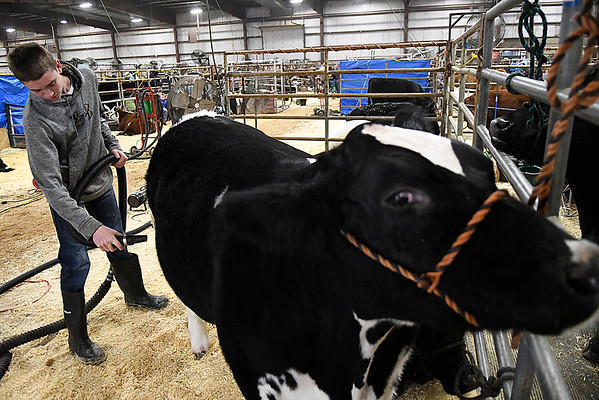 Levi Phillips, from Covington, dries a cow at the Northwest District Junior Livestock Show Wednesday March 1, 2017 at the Chisholm Trail Expo Center. (Billy Hefton / Enid News & Eagle)