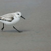 Single snowy plover running on beach