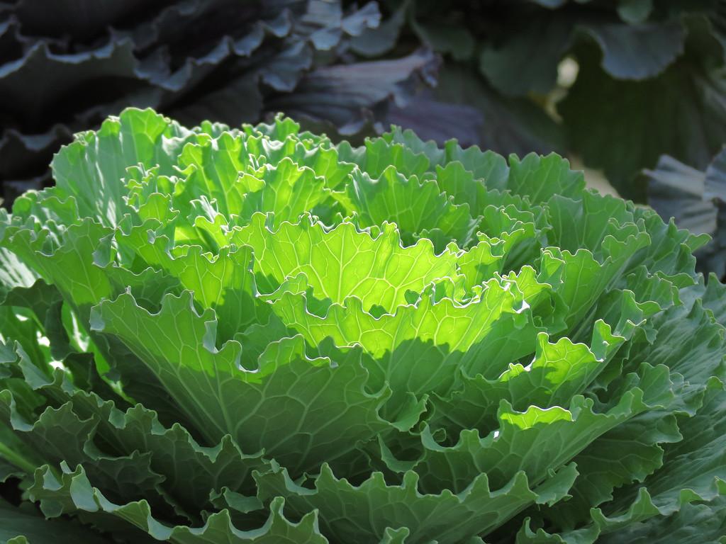 Flowering Kale in the sunshine.