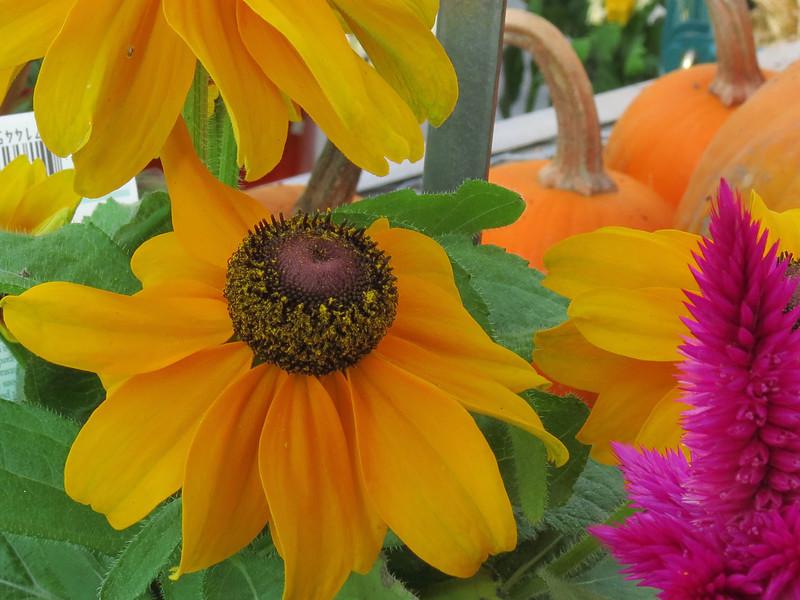 Yellow Rudebeckia
