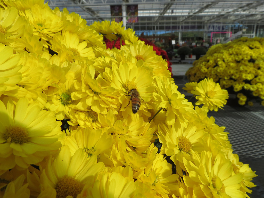 Honeybee and Yellow Chrysanthemums