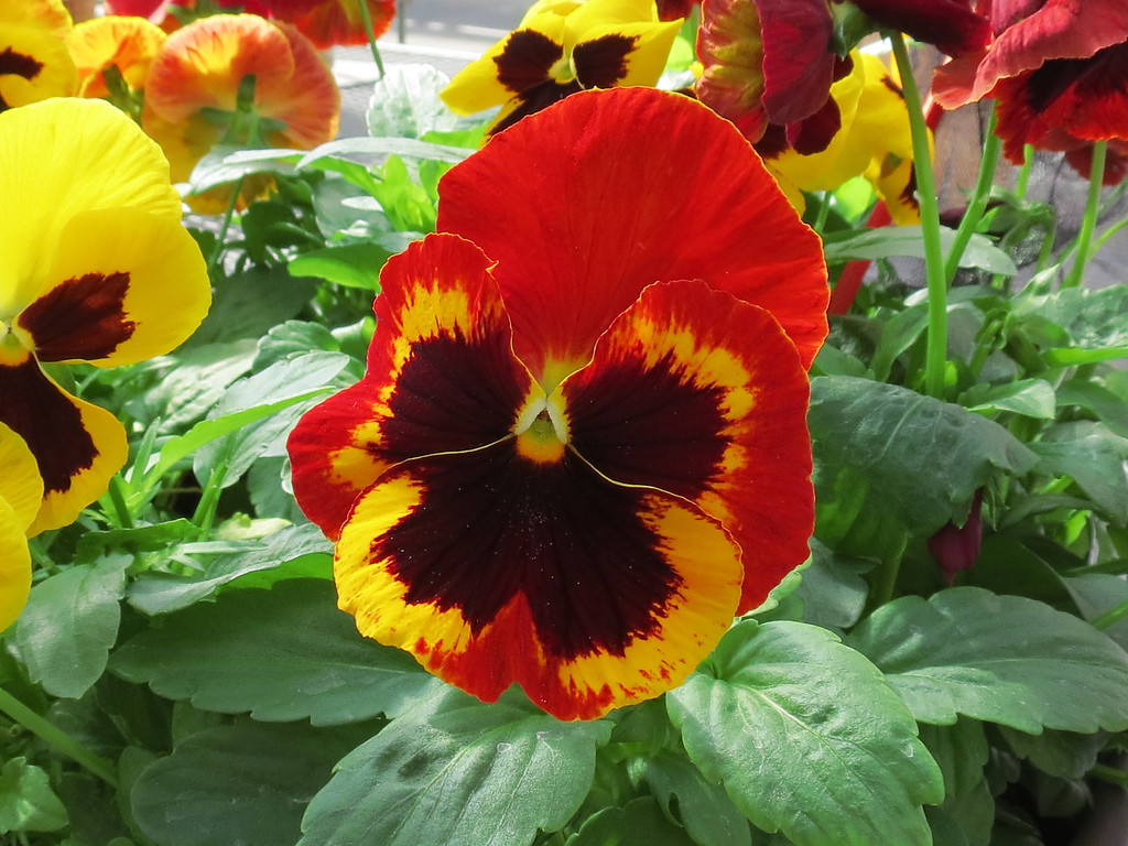 Red and yellow Pansy
