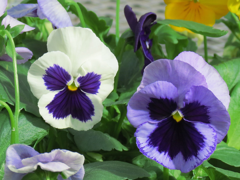Blue and White Pansies.