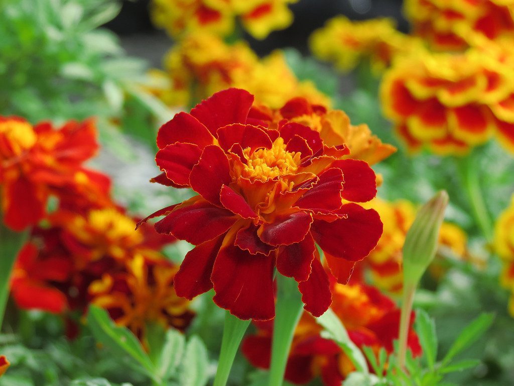 Red and Yellow Marigold
