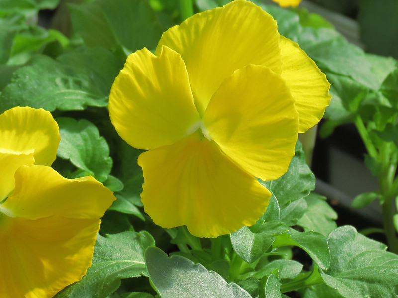 Yellow Pansy in sunlight.