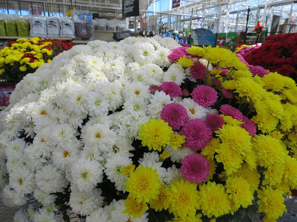 White, pink and yellow Chrysanthemums