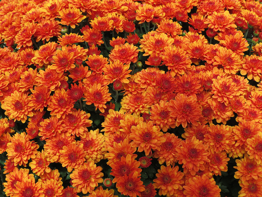 Golden Chrysanthemums