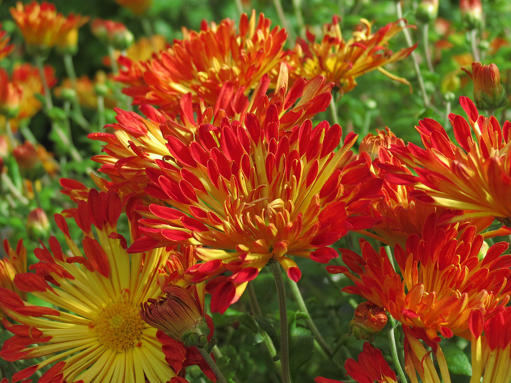 Red and Yellow Chrysanthemums