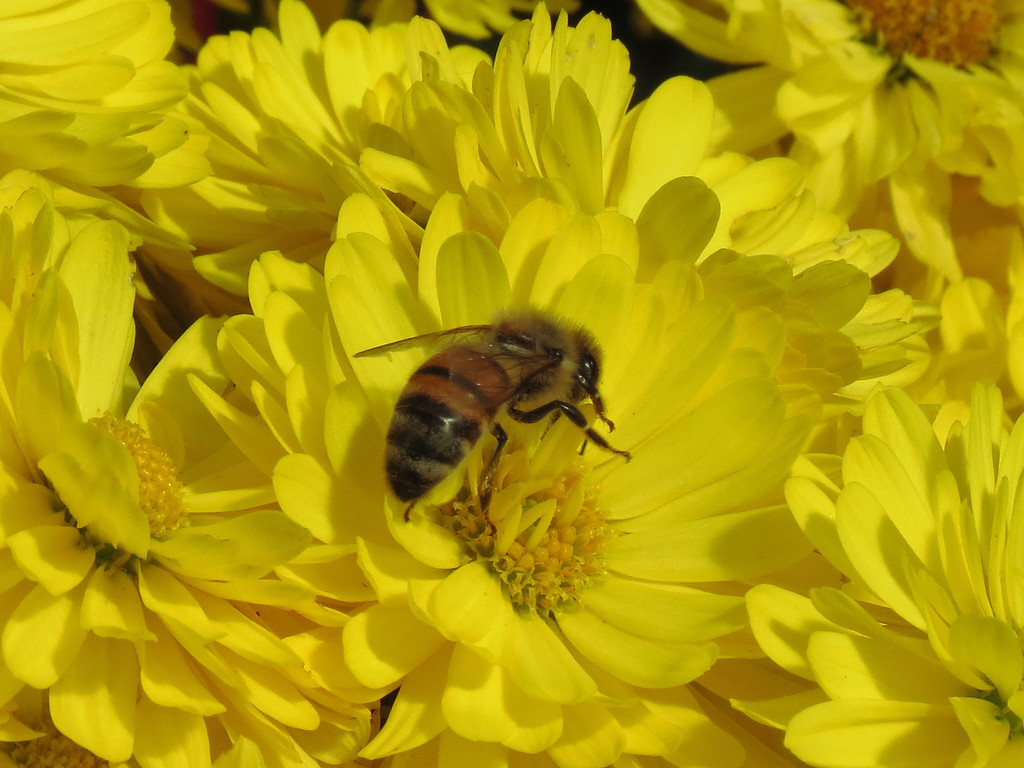 Honeybee on Yellow Chrysanthemums.