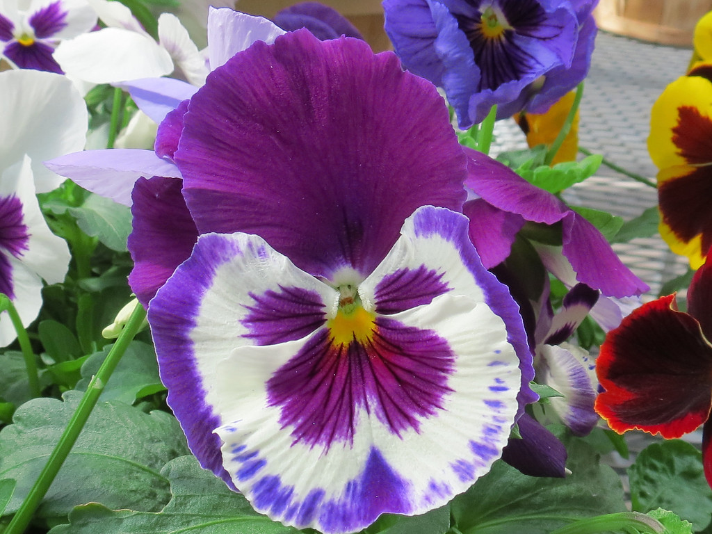 Purple, blue and white Pansy