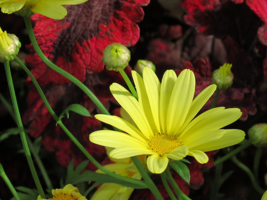 Yellow Gerbera Daisy and red Coleus.