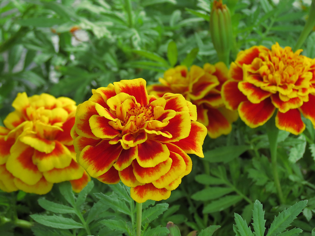 Yellow and Orange Marigolds