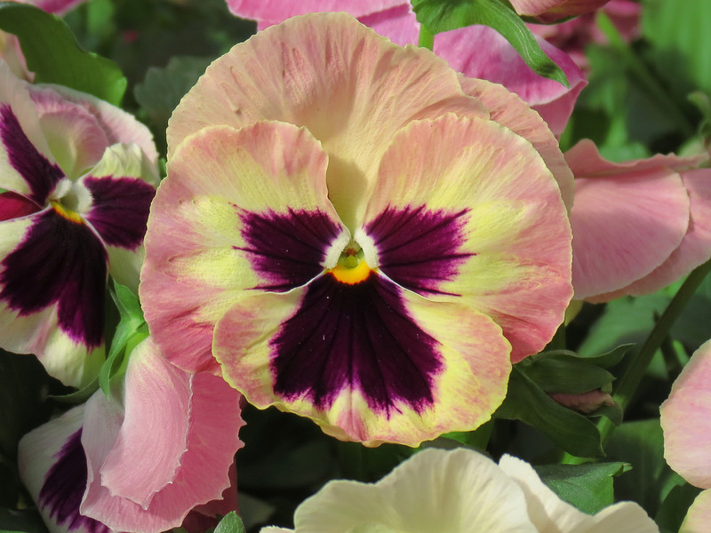 Pink and Purple Pansy with a hint of Yellow