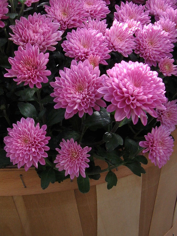 Pink mums in a basket.