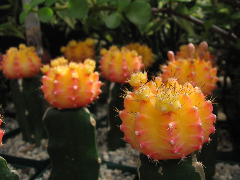 Grafted cactus with colorful heads.