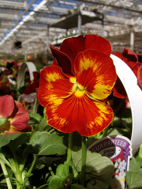A very red pansy with yellow splashes.