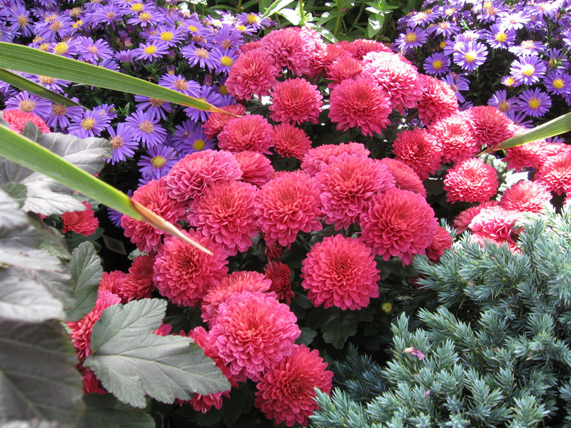 Mums, asters and spruce.