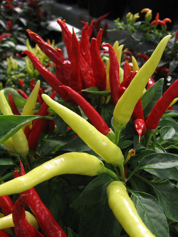 Ornamental peppers.