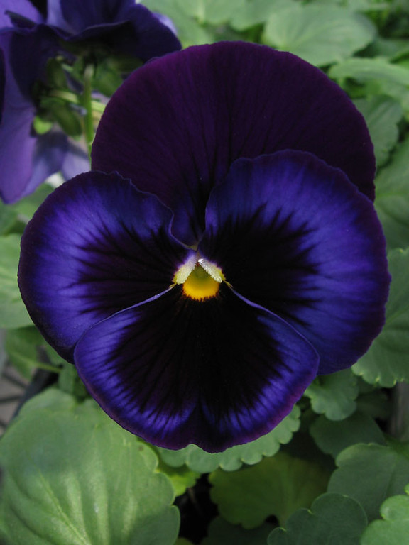 Pansy.<br /> This is maybe the darkest blue pansy I have ever seen.