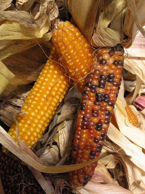 Ornamental corn.