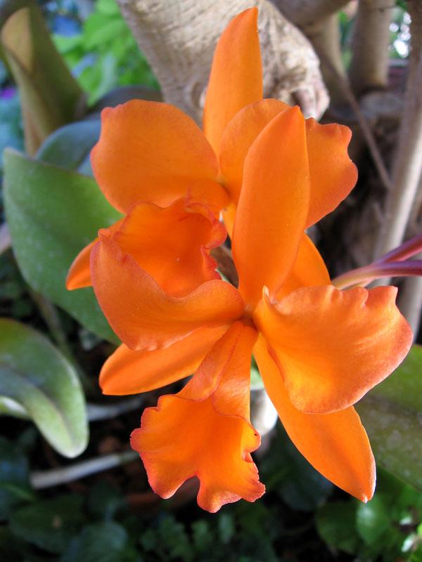 Orange orchids.