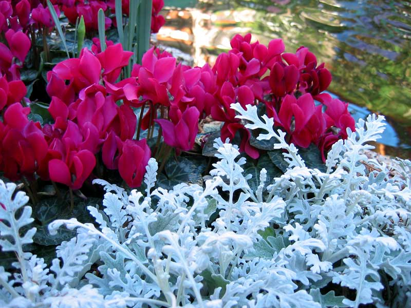 Dusty Miller with Cyclamen beside the conservatory pool.