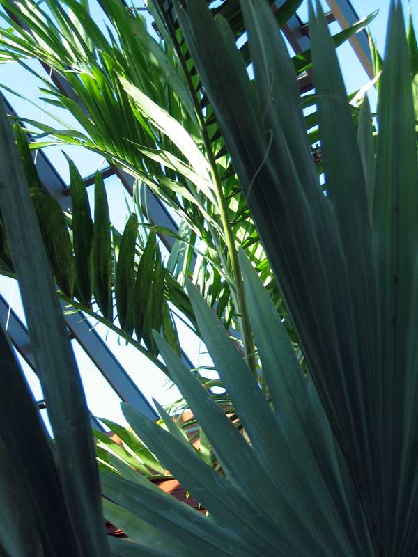 Palms in the conservatory.