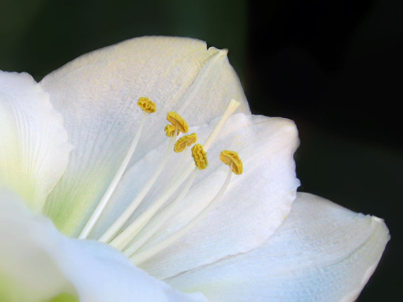 Photoshopped this a bit to blur out some water spotted leaves in the background. This is a white amaryllis.
