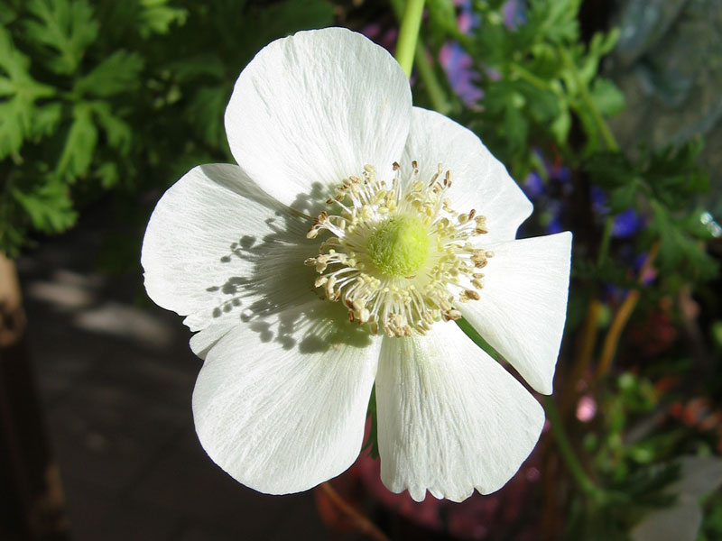 Anemone with shadows.