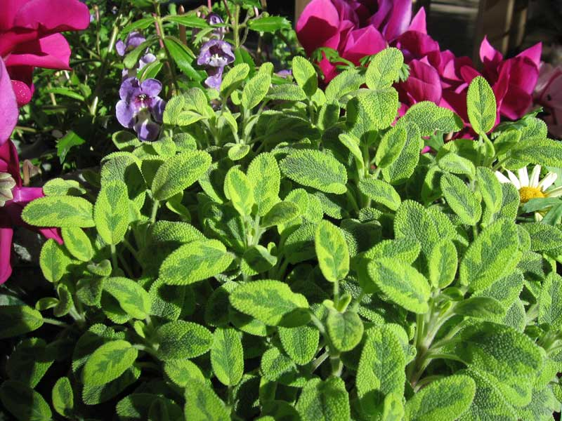 Sage and cyclamen.