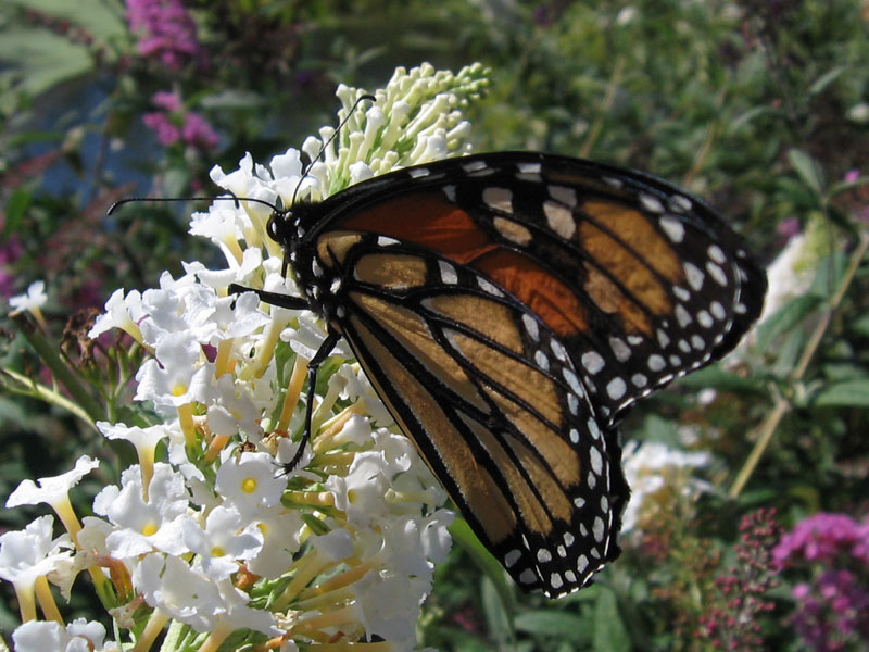 Monarch butterfly on white buddleia.<br /> The wind on the island in the lake was blowing so hard that I almost gave up trying to get any photos of the butterflies.  There were a lot of monarchs and they would have let me photograph them all day, I'm sure, but the buddleia was heaving to and fro causing me to have a little bit of disorientation as I tried to focus the camera.  I shot these in the very brief lulls that occurred.