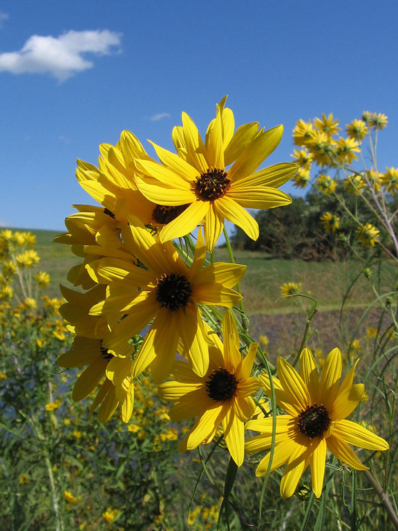 Willow-Leaved sunflower.<br /> These grow over six feet in height.