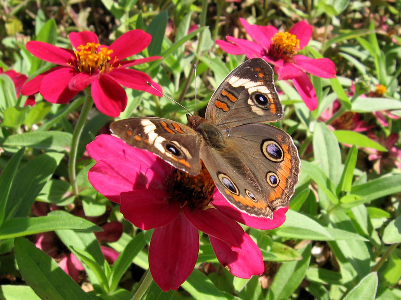 Buckeye butterfly on a zinnia.