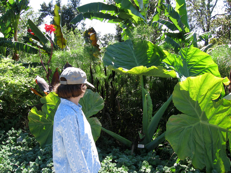 Becky looking at a plant with giant leaves.