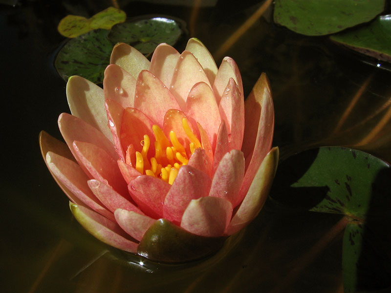 Water lily growing in a pot.