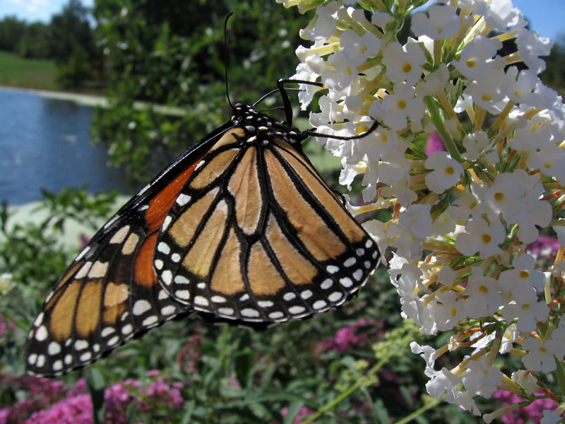 Monarch butterfly on white buddleia.