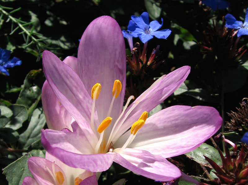 Autumn blooming crocus.