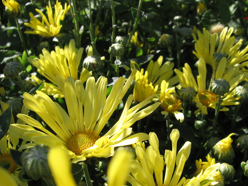 Yellow mums.