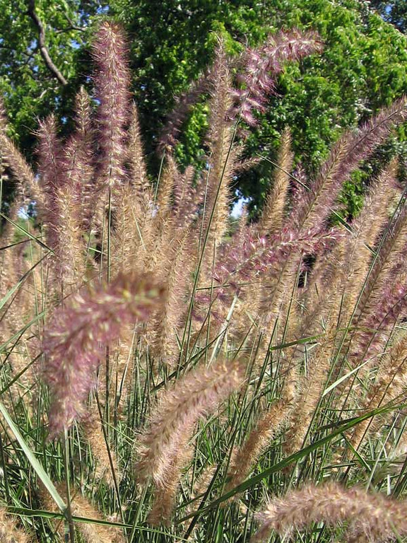 Ornamental grass - 'Karley Rose'
