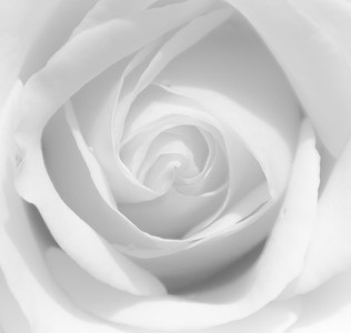 C Peter Chow - Clinton_White Rose_$225_20x20