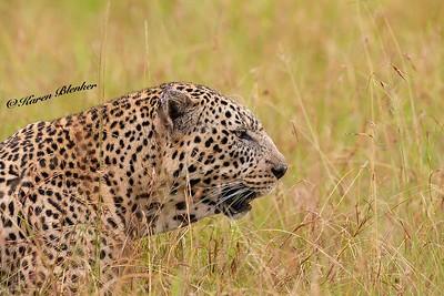 Male Leopard profile
