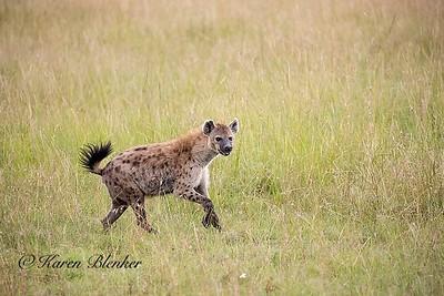 Hyena coming for the cheetah kill