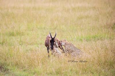 Cheetah hunt #2 - help from brother,  Kenya, Africa