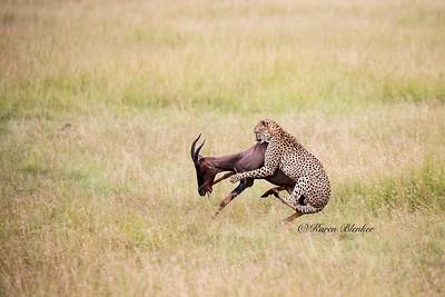 Cheetah hunt #2,  Kenya, Africa