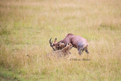 Cheetah hunt #2 - help from brother2,  Kenya, Africa