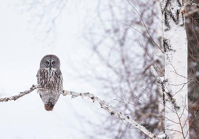 Great Gray Owl on birch tree branch2